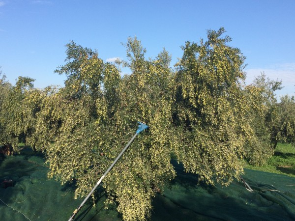 olivenbaum-ernte